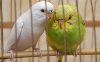 Как можно назвать самку попугая