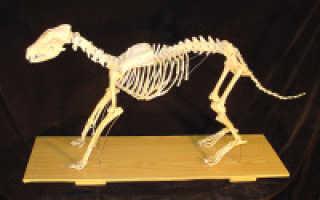 Кости передней конечности собаки