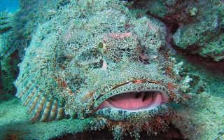 Рыба камень самая ядовитая рыба