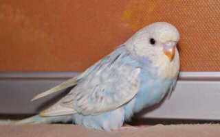 Через сколько дней вылупляются яйца попугаев