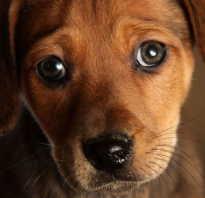 Лечение папиллом и бородавок у собак: в ухе, на губе, на шее и теле