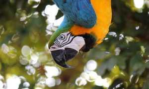 Попугай ара размеры, описание, виды, где живет