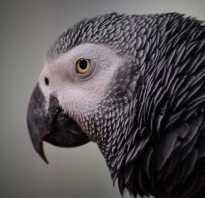 Сколько стоят попугаи жако