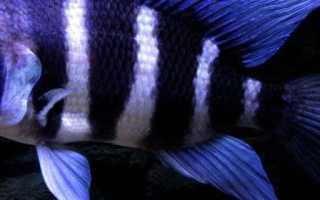 Цифротиляпия зебра