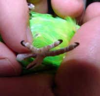 Попугай не может стоять на лапках
