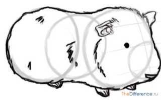 Морская свинка рисунок