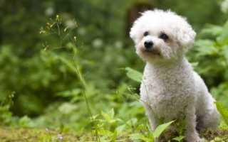 Кудрявая собака порода фото
