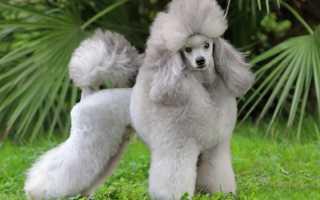Королевский пудель: описание породы, уход за большой собакой