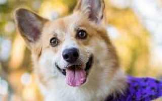 Корки собаки порода