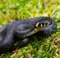 Змея с желтой головой