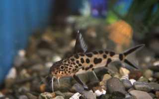 Синодонтис далматин или сомик кукушка: совместимость с другими рыбками, содержание, виды