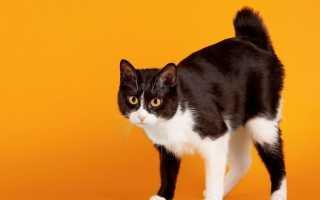 Японские кошки породы фото