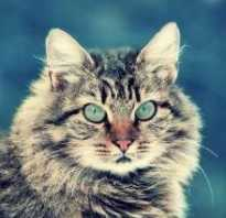 Сибирский вислоухий кот
