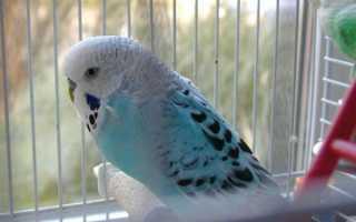 Как научить говорить волнистого попугайчика в домашних условиях