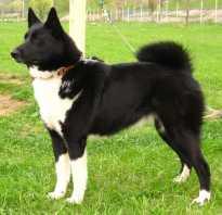 Русско-европейская лайка: описание породы — Моя собака