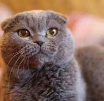 Шотландские вислоухие котята серые