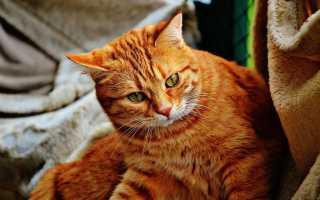Как назвать вислоухого рыжего котенка мальчика
