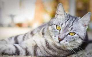 Британские котята фото серые в полоску