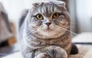 Поведение вислоухих котов
