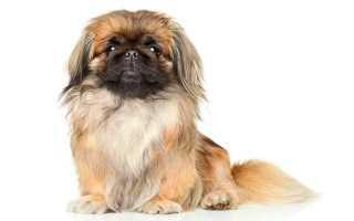 Дорогие породы собак фото