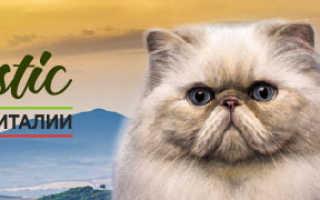Серые котята с голубыми глазами порода