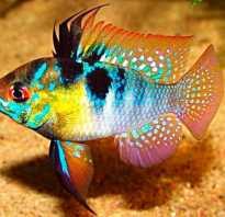 Рыбки цихлиды фото