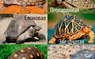 Сухопутная черепаха кормление