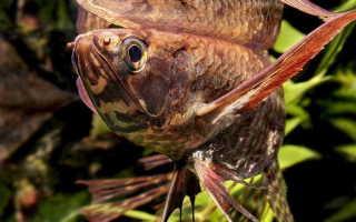 Пантодон — рыбка бабочка, фото-видео обзор