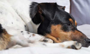 Глисты у собаки похожие на рис