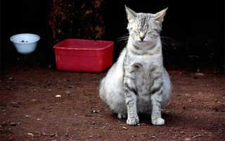 Сколько шотландские кошки вынашивают котят