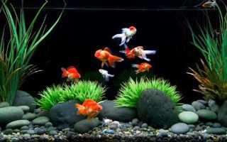 Золотые рыбки совместимость