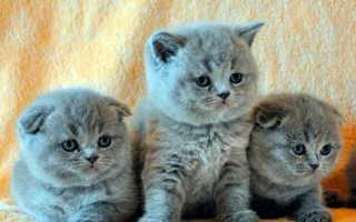 Чем кормить котенка шотландца 3 месяца