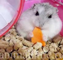 Можно ли кормить хомяка морковкой