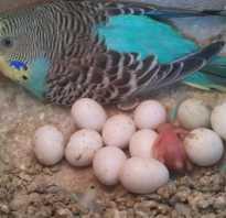 Попугай вылупляется из яйца
