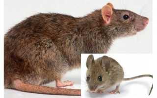 Мышь полевка и крыса