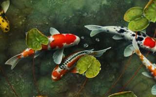 Рыбы кои содержание