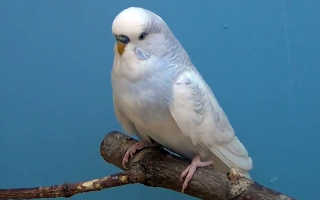Что кушает попугай волнистый