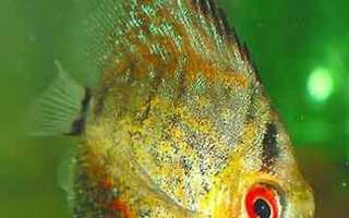 Канамицин для лечения аквариумных рыб