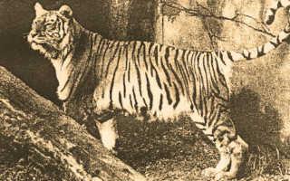 Балийские тигры: почему не стало хищников на райском острове