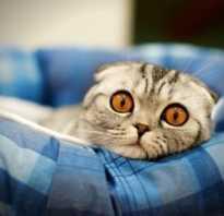 Рацион питания котенка шотландского вислоухого
