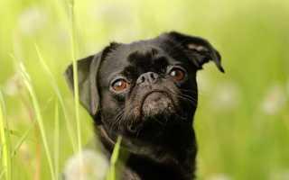 Порода собак барбадос фото