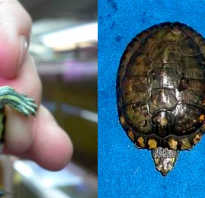 Красноухая черепаха рост