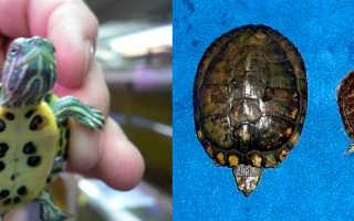 Как определить возраст красноухой черепахи фото