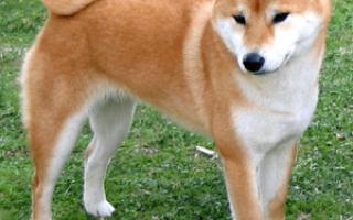 Собака как акита ину только меньше