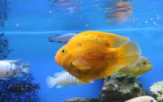 Рыба попугай виды