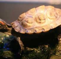Почему у черепахи отслаивается панцирь