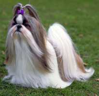 Ши тцу фото взрослых собак девочек