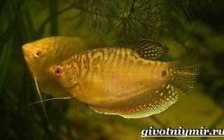 Аквариумные рыбки фото и название гурами