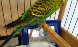 Почему волнистый попугай поджимает одну лапку