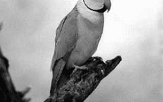 Ожереловый попугай сливоголовый